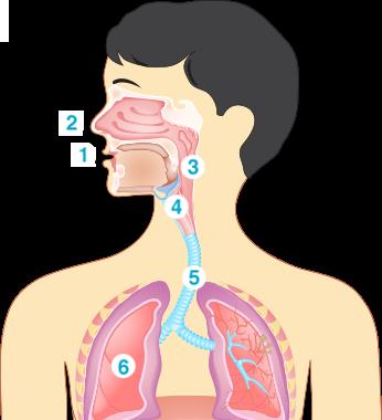 schéma sur l'appareil respiratoire dans le corps humain